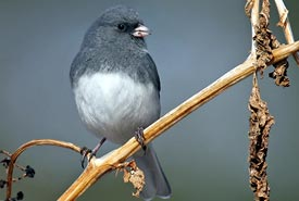 Dark-eyed junco (Photo by Bill Hubick)
