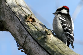 Downy woodpecker (Photo by Bill Hubick)