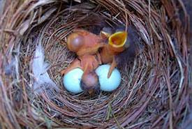 Eastern bluebird nest (Photo by Sialis.org)
