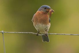 Eastern bluebird (Photo by Cameron Curran/NCC staff)