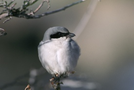 Eastern loggerhead shrike (Photo by Dave Menke, courtesy of USFWS)