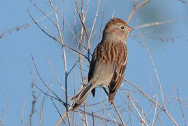Field sparrow (Photo from Wikimedia Commons)