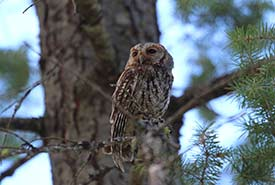 Flammulated owl (Photo by Dick Cannings, iNaturalist)