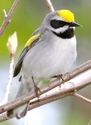 Golden-winged warbler (Photo by Bill Hubick)