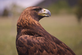 Golden eagle (Photo by NCC)