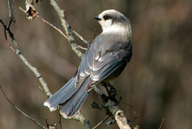 Gray jay (Photo by NCC)