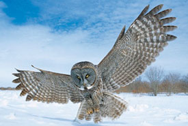 Great gray owl (Photo by Robert Taylor)
