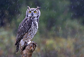Great horned owl (Photo by Chris Hill)