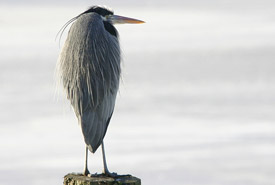 Great blue heron (Photo by Bill Hubick)