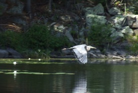 Great blue heron, Rock Lake, Frontenac Arch, Ontario (Photo by NCC)