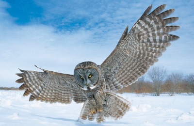 Great Grey Owl (Photo by Robert Taylor)