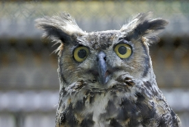 Great horned owl (Photo by Bill Hubick)