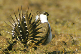 Greater sage-grouse (Photo by Gordon Sherman © Audubon Canyon Ranch)