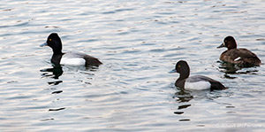 "The same group, showing me the little ""notch"" just behind the crown of their heads. Not ""evenly rounded"" afterall, so these are lesser scaup. (Photo by Mhairi McFarlane/ NCC staff)"