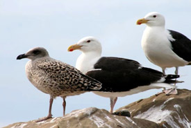 Great black-backed gulls (Photo by Laurie Dunbar)