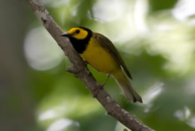 Hooded warbler (Photo by Bill Hubick)