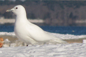 Ivory gull (Photo by Will Sweet/Wikimedia Commons)
