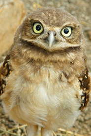 Juvenile burrowing owls are raised in captivity and released into the wild. (Photo by Lauren Meads)