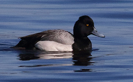 Lesser scaup (Photo by Christian Artuso, CC BY-NC-ND-4.0)