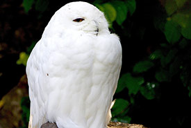 A male snowy owl (Photo by Pixabay)