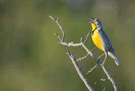 Meadowlark (Photo by Jason Bantle)