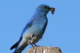 Mountain bluebird (Photo by Allison Haskell)