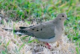 Mourning dove (Photo by Ken Schneider)