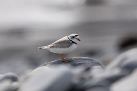 Piping plover (Photo by Andrea Drake)