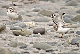 Piping plover (Photo by Gordon Prince)