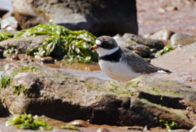 Semipalmated plover, Johnson's Mills, NB (Photo by Mike Dembeck)