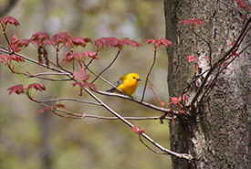 Found in only a few locations in Canada, Pelee Island has supported a pair of prothonotary warblers at Fish Point in recent years. (Photo by Ken Burrell)