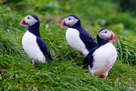 Puffins (Photo by Bill Caulfeild-Browne)