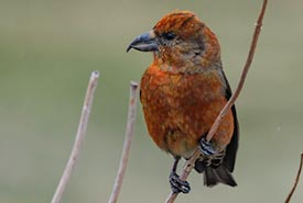 Red crossbill photographed near St. John's, NL. (Photo by vikask, CC BY-NC 4.0)