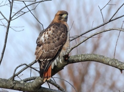 Red-tailed hawk (Photo by Bill Hubick)