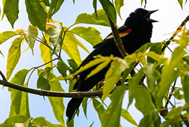 Red-winged blackbird, Brighton Wetland, Eastern Lake Ontario Coast, ON (Photo by David Coulson)