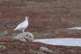 Rock ptarmigan (Photo by Gregory Smith/Wikimedia Commons)