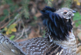 Ruffed grouse (Photo by Yaremchuk)