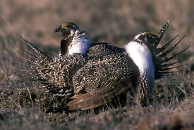 Sage-grouse (Photo by Gordon Court)