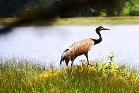 A sandhill crane in the Kumdis estuary. (Photo by NCC)