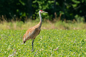 Sandhill crane (Photo by Paul Reeves, iNaturalist, CC BY-NC 4.0)