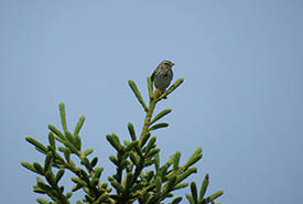 A Savannah sparrow on the Torbay Gully Nature Reserve (Photo by NCC)