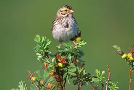 Savannah sparrow (Photo by Robert McCaw)