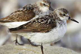 Semipalmated sandpiper resting at high tide, Bay of Fundy, New-Brunswick (Photo by Robert McCaw)