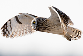 Short-eared owl in flight (Photo by Tony Campbel)