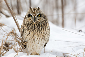 Short-eared owl (Photo by Tony Campbell)