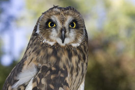 Short-eared owl (Photo by Gregory Johnston)