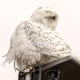 Snowy owl on a post (Photo by Gregg McLachlan)