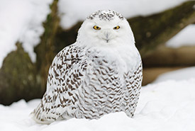 Snowy owl (Photo by ThinkStock)