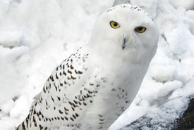 Snowy owl (Photo by Chris Moncrieff)