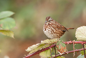 Song sparrow (Photo by Stuart Clarke)